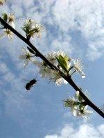 Пчёлы-опылители