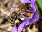 Карпатская порода медоносных пчёл