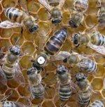 Серая горная порода кавказских медоносных пчел