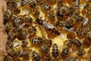 Краинская порода пчёл
