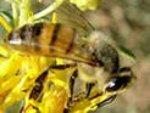 Итальянская порода пчел