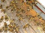 Предсказания пчел