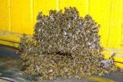Звук пчелиного роя