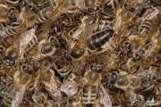 Условия вывода пчелиных маток
