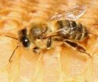 Пчёлы не спят