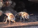 Сторожевые пчёлы