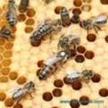 Смена пчелиных маток