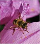 Поведение пчёл. Инстинкт опрятности
