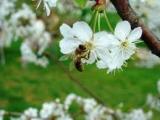 Сад и пчёлы