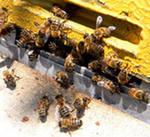 Поведение пчёл. Впрашивание пчелы