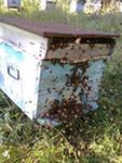Жизнь пчелиной семьи. Пчелиное воровство и приёмы борьбы с ним