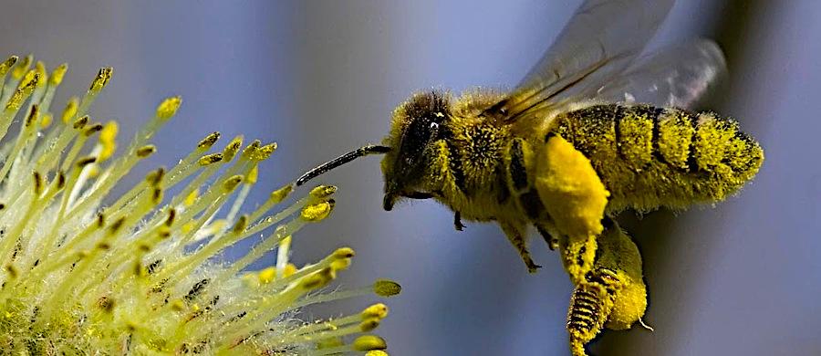 Пчела вся в нектаре подлетает к цветку