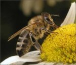 Родина медоносных пчел